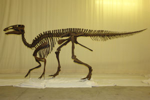 Hadrosaur skeleton