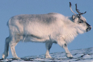 Svalbard reindeer, Spitsbergen Island, at midnight in mid-summer