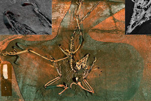 Archaeopteryx  - image created by K.G. Huntley