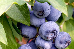 Blueberries can ward off disease