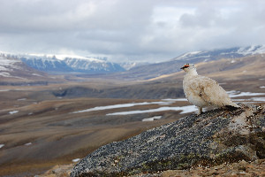 Male Svalbard rock ptarmigans are champion runners