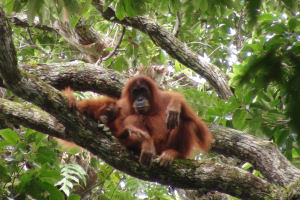 Orangutans have sophisticated nest-building skills. Photo: Adam van Casteren