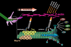 Illustration of spectraplakins in axonal growth organising microtubules