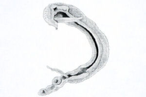 A preliminary drawing of schistosoma mansoni