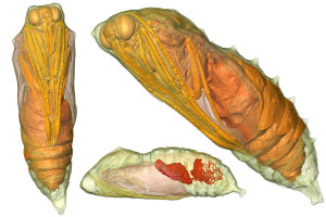 Computed tomography images of the developing pupa (Credit: T. Lowe)