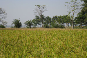 Rice being grown in West Bengal (Photo: Debapriya Mondal)