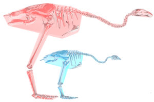 Larger moa (Dinornis robustus) pink, smaller moa (Pachyornis australis) in blue
