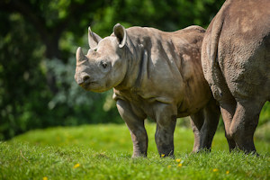 A baby black rhino at Chester Zoo