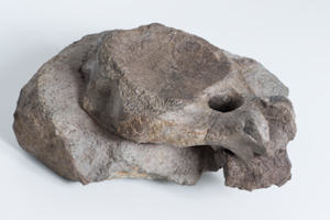 Part of the bone found near Whitby